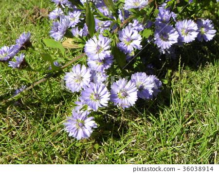 米迦勒雛菊 花朵 花 36038914