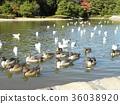 针尾鸭 棕色 褐色 36038920