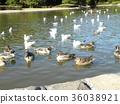 针尾鸭 棕色 褐色 36038921