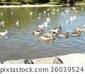 针尾鸭 棕色 褐色 36039524