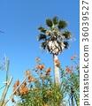레오노찌스의 새빨간 꽃과 야자수 36039527