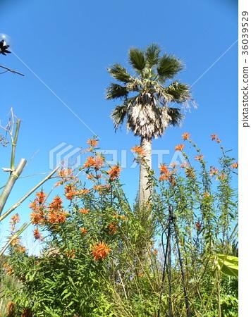 레오노찌스의 새빨간 꽃과 야자수 36039529