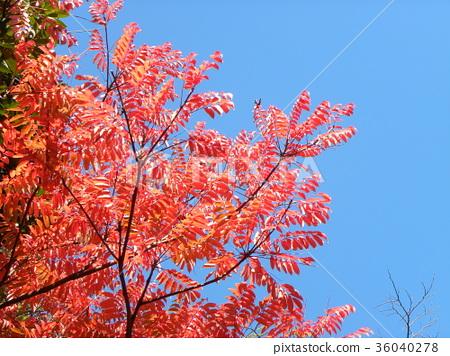 ต้นเมเปิล,ท้องฟ้าเป็นสีฟ้า 36040278