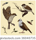 birds fly in the air. sparrow and feather 36040735