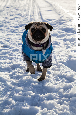 Dog on snow-covered road 36041957