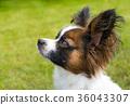 Beautiful young papillon dog outside 36043307