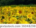 向日葵園 花園 向日葵 36048298
