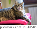 Long Haired Crossed-Breed Cat 36048585