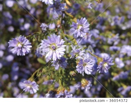 가을, 꽃, 소국 36054372