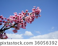 벚꽃 36056392