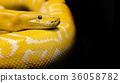 python snake black background 36058782