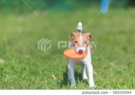 傑克羅素梗犬 36059994