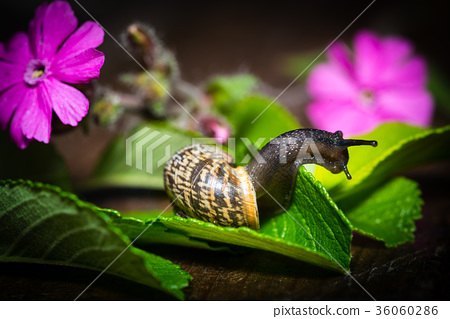 A snail with a house is crawling on a green leaf 36060286