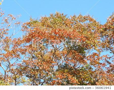 느티나무, 단풍, 적색 36061941