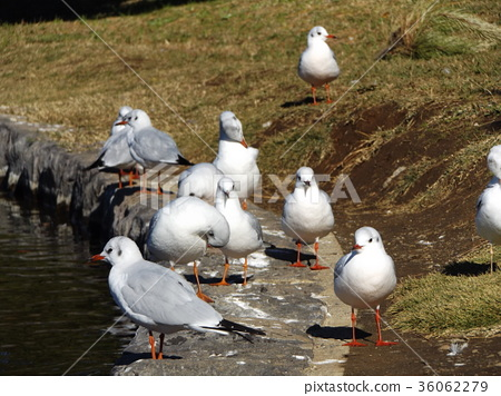 black-headed gull, white, wild bird 36062279