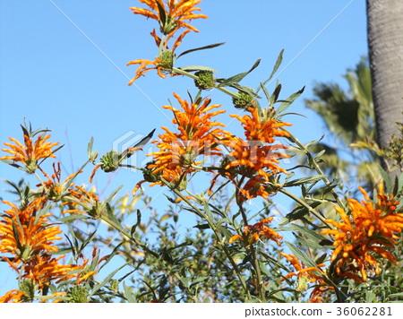 ดอกไม้,ท้องฟ้าเป็นสีฟ้า,ฤดูใบไม้ร่วง 36062281