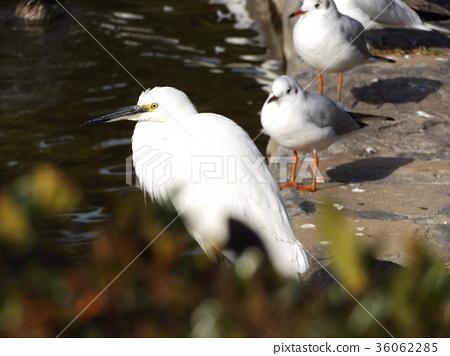 백로, 들새, 야조 36062285
