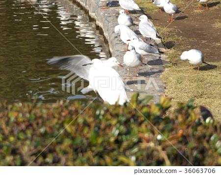 紅嘴鷗 白色 野生鳥類 36063706