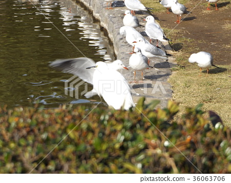 black-headed gull, white, wild bird 36063706