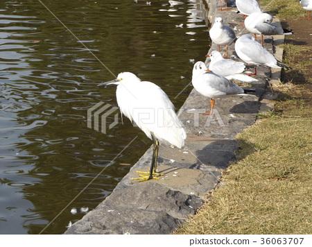 小白鷺 野生鳥類 野鳥 36063707