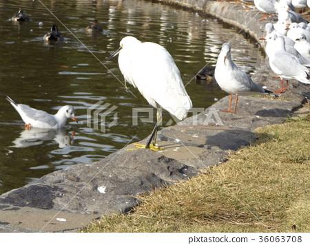 小白鷺 野生鳥類 野鳥 36063708