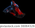 Capture the moving moment of siamese fighting fish 36064326