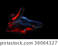Capture the moving moment of siamese fighting fish 36064327