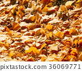 Many of ginkgo leaves background 36069771