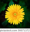 Beautiful gerbera flower in garden 36071372
