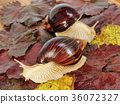 Giant african Achatina snails on grape leaves. 36072327