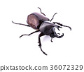 Dynastinae on white background 36072329