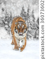 Black and white photography with color tiger 36073602