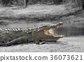 crocodile, animal, reptile 36073621