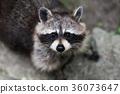 raccoon, animal, wildlife 36073647