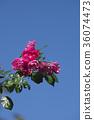 玫瑰 玫瑰花 藍天 36074473