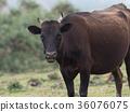 奶牛 牲口 牛 36076075