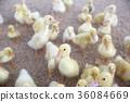 가축, 새끼, 노랑 36084669