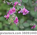 싸리 꽃 (키하기) 36091440