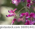 싸리 꽃 (키하기) 36091441
