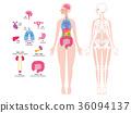 內臟骨骼全身例證 36094137