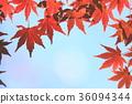 ต้นเมเปิล,ผักใบ,ฤดูใบไม้ร่วง 36094344