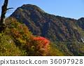 楓樹 紅楓 楓葉 36097928