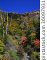楓樹 紅楓 楓葉 36097931