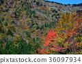 楓樹 紅楓 楓葉 36097934