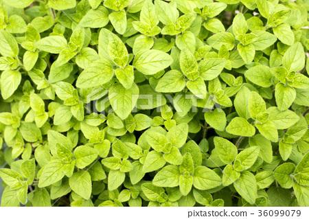 Oregano leaves on the whole surface 36099079