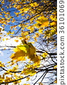 Yellow maple leaves in autumn sunny day blue sky  36101069