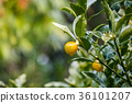 Ripe tangerines orange on tree. 36101207