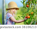 Adorable little girl wearing hat picking fresh ripe organic tomatoes in a greenhouse 36106213