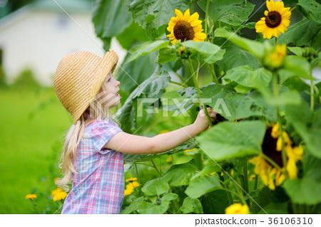 Cute little girl reaching to a sunflower in summer field 36106310