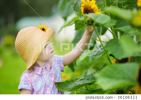 Cute little girl reaching to a sunflower in summer field 36106311